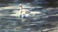 Lone Swan